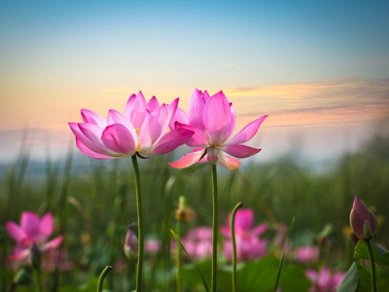 17474275 - beautiful lotus flower in blooming at sunset