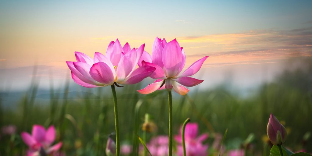 17474275 - beautiful lotus flower in blooming at sunset